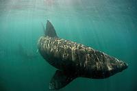 Basking Shark (Cetorhinus maximus); in the area of the Island of Mull; Scotland. June 2009. (Coll and Tiree Islands area)