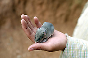 A young Laoseng ethnic minority girl holding a baby mole at her home in Ban Watai, Phongsaly province, Lao PDR