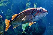 Canary Rockfish (Sebastes pinniger). Oregon Coast Aquarium, Newport, Oregon, USA.