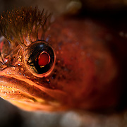Portrait of a Neoclinus bryope blenny peeking out from its hole in the reef, photographed at a magnification of two times life-size