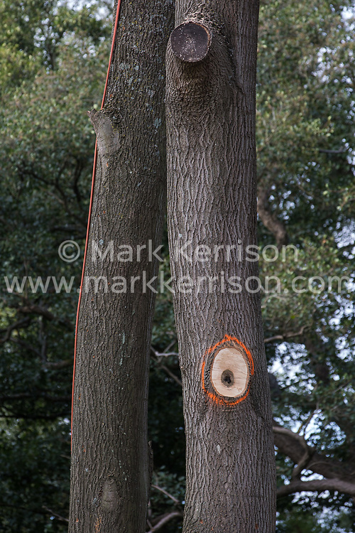 Denham Green, UK. 11th September, 2020. Mature trees marked with orange paint at a site where tree felling is currently taking place for the HS2 high-speed rail link. Many thousands of trees have already been felled for the HS2 project in the Colne Valley and tree felling is currently taking place in Denham Green, Denham and Harefield.
