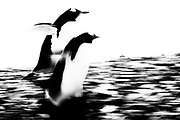 A motion-blur in black and white of two gentoo penguins (Pygoscelis papua) walking on the beach,  Brown Bluff,West Antarctica Peninsula, The Antarctic