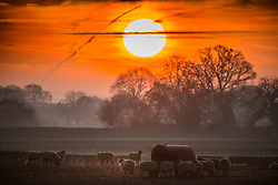 © Licensed to London News Pictures. 16/02/2019. York UK. The sun rises this morning over a herd of sheep in a field near York as the country expects another sunny day. Photo credit: Andrew McCaren/LNP