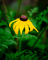 Coneflower. Image taken with a Fuji X-H1 camera and 80 mm f/2.8 macro lens