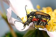 Schmalböcke (Strangalis melanura) bei der Paarung auf einer Hagebuttenblüte. Sie ernähren sich von Pollen, den sie ebenfalls auf der Blüte finden. Kaiserstuhl, Oberrheinischen Tiefebene, Deutschland  | Two Longhorn beetles (Strangalis melanura) mating.