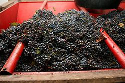"""Uva pronta per essere spremuta nelle tipiche macchine chiamate in gergo dialettale """"carolle"""". Queste macchine hanno una vasca di forma troncoconica; l'uva scende e viene trasportata tramite una vite senza fine verso la spremitura."""