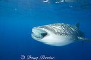 whale shark ( Rhincodon typus ) with mouth open to feed on plankton, Kona Coast, Hawaii Island ( the Big Island ), Hawaiian Islands, USA ( Central Pacific Ocean )