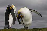 King Penguin (Aptenodytes p. patagonica) scratching.<br /> Volunteer Point, Johnson's Harbour, East Falkland Island. FALKLAND ISLANDS.<br /> RANGE: Circumpolar, breeding on Subantarctic Islands. Extensive colonies found in South Georgia, Marion, Crozet, Kerguelen and Macquarie Islands. The Falklands represent its most northerly range. They are highly gregarious which probably accounts for it common association with colonies of Gentoo Penguins.<br /> King Penguins are the largest and most colourful penguins found in the Falklands. They have a unique breeding cycle. The incubation of one egg lasts for 54-55 days and chick rearing 11-12 months. As the complete cycle takes more than one year a pair will generally only breed twice in three years.