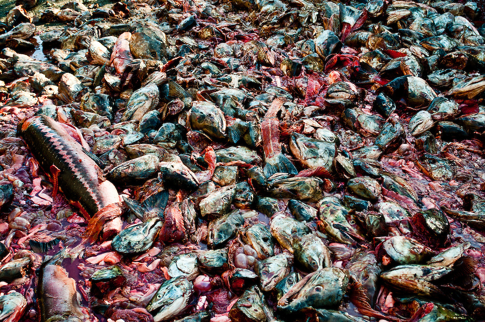 Rotten and cast away heads, guts, bodies, of fish from the Quinalt Indian tribe near Moclips, Washington