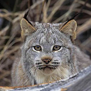 Canada Lynx, (Lynx canadensis) Adult behind fallen log. Rocky mountains. Montana.  Captive Animal.
