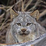 Canada Lynx, (Lynx canadensis) Adult behind fallen log. Rocky mountains. Montana.  Captive Animal.