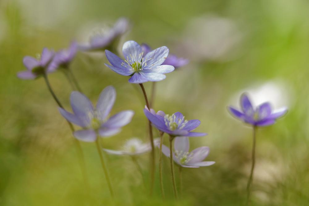 Group of Anemone hepatica (Hepatica nobilis) with one flower in focus.