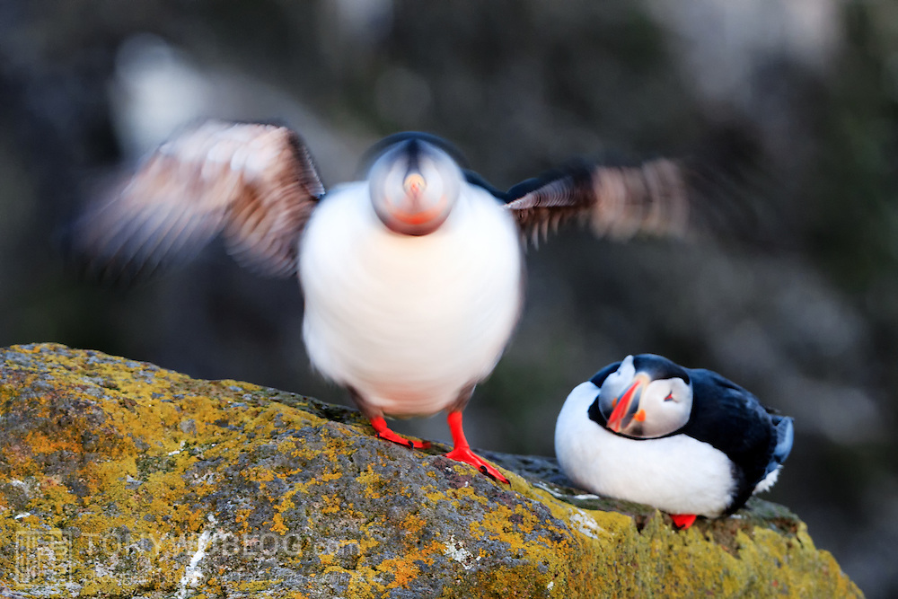 Atlantic puffin (Fratercula arctica) shaking off water after returning from sea