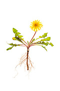 Common Dandelion (Taraxacum officinale) showing the entire plant - roots, leaves, and flowers.