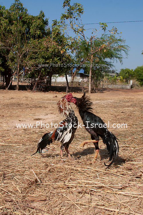 Cock fight Photographed in Thailand