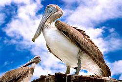 juvenile brown pelicans, .Pelecanus occidentalis, .Islamorada, Florida.