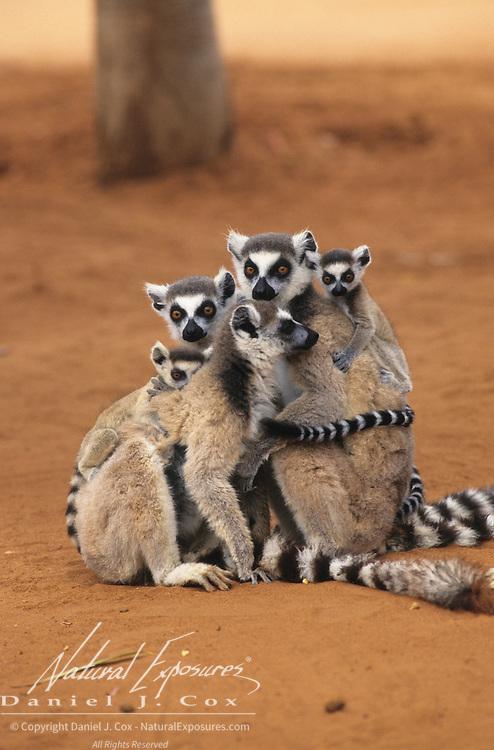 Ring-tailed Lemur (Lemur catta) group grooming in Madagascar.