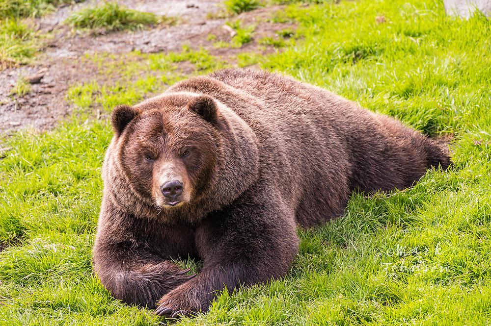Grizzly Bears, Fortress of the Bear, Sitka, Baranof Island, Alaska, USA