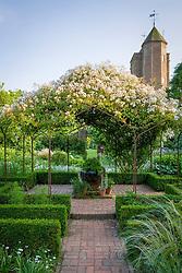 Rosa mulliganii in full flower growing over the pergola in the White Garden at Sissinghurst Castle
