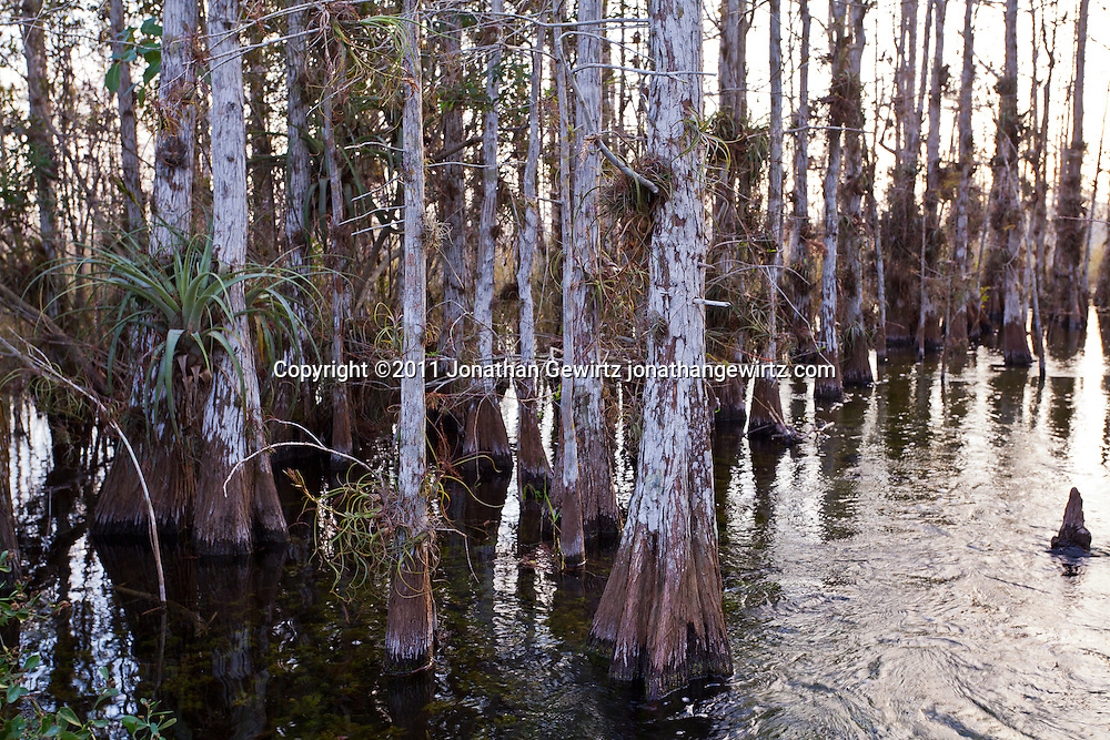 Bald Cypress forest in Everglades National Park, Florida. WATERMARKS WILL NOT APPEAR ON PRINTS OR LICENSED IMAGES.