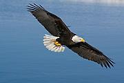 Bald Eagle, Haliaeetus leucocephalus, flying, Kenai Peninsula, Homer Spit, Homer, Alaska. Digital original, #2006_0690 ©Robin Brandt