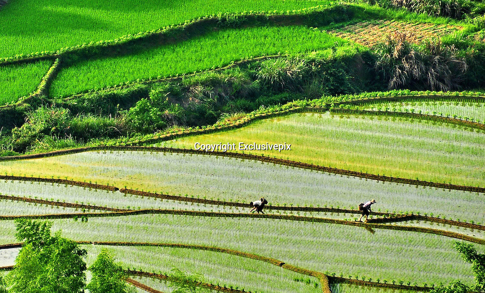 SUICHUAN, CHINA - MAY 20: (CHINA OUT) <br /> <br /> Terrace Fields <br /> <br /> Farmers plant paddy on a terrace field on May 20, 2014 in Suichuan County, Jiangxi Province of China. <br /> ©Exclusivepix