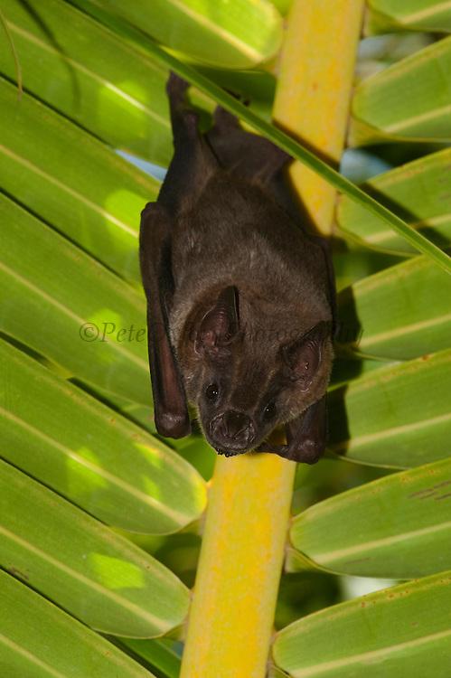 Fruit Eating Bat (Artibeus sp)<br /> Annai Village<br /> Rupununi<br /> GUYANA<br /> South America