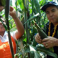 San Antonio la Isla, Mex.- Integrantes de la Fundación Sabritas, Fundación Pro Mazahua, inician la cocecha de maíz, durante los proyectos agrícolas productivos en comunidades  indígenas del estado de México. Agencia MVT / José Hernández. (DIGITAL)<br /> <br /> <br /> <br /> NO ARCHIVAR - NO ARCHIVE