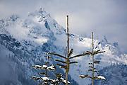 A mountain rises above pine saplings near Snoqualmie Pass, Washington.