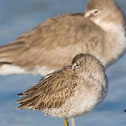A short-billed dowitcher, Limnodromus griseus (front) and a Willet, Catoptrophorus semipalmatus, rest on North Beach at Fort De Soto Park in Pinellas County, Florida. Winter plumage.