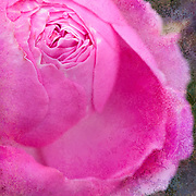Pink rosebud beginning to open in garden setting, blended with multicolored background texture.