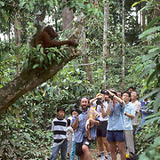 Orangutan, (Pongo pygmaeus) Lone orang-utan sitting in tree watching visitors in Sepilok Forest Rehabilitation Center. Borneo. Malaysia. Controlled Conditons.