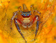 Eye of the Spider: Hypnotizing Macro Photos of Exotic Spiders Staring Directly into Your Mind<br /> <br /> Like hairy aliens from another planet, these tiny spiders seem to stare with giant, all-knowing eyes into your very soul. Whether they possess otherworldly secrets or a desire to attack your face is open to interpretation. Regardless, photographer Jimmy Kong has done an incredible job capturing these intimate moments with diverse arthropods found in his native Malaysia. What you see here is just a taste of his macro work that also involves insects, reptiles and other creepy crawly things.<br /> ©Jimmy Kong/Exclusivepix