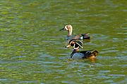 Mallard duck (Anas platyrhynchos)  and Wood Duck  (Aix sponsa)<br />Winnipeg<br />Manitoba<br />Canada