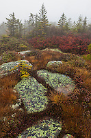 Huckleberry and alpine grasses turn vibrant colors on Cadillac Mountain in Acadia National Park in Maine in autumn
