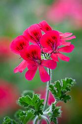 Pelargonium 'Shrubland Rose'