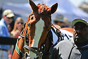 27 March 2010 : A horse is walked around the parade ring before the start of the first race.