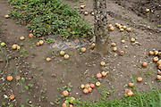 apples laying on the ground under the tree