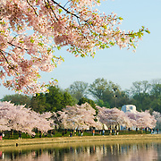The MLK Memorial in the distance is surrounded by cherry blossoms in bloom. The Yoshino Cherry Blossom trees lining the Tidal Basin in Washington DC bloom each early spring. Some of the original trees from the original planting 100 years ago (in 2012) are still alive and flowering. Because of heatwave conditions extending across much of the North American continent and an unusually warm winter in the Washington DC region, the 2012 peak bloom came earlier than usual.