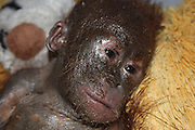 Just look at me now! Incredible transformation of the 'mummified' orang-utan who has been nursed back to health <br /> <br /> A baby orang-utan left to die in a filthy cardboard box in the sun in Borneo is showing further strong signs of recovery less than two months after being saved by a British charity.<br /> Rescuers said the baby ape's appearance is now 'beyond recognition' after he was found so lifeless that at first they thought he was dead.<br /> Lying corpse-like with his arms folded across his chest, his grey flaking skin and lack of hair made him look 'almost mummified' in his urine-soaked box.<br /> <br /> The baby, who officials named Gito, was found in the village of Hamlet Giet in Simpang Hulu district, 105 miles from the orang-utan rehabilitation base in West Borneo.<br /> Dehydrated and malnourished after being fed entirely on condensed milk, Gito was taken to the International Animal Rescue (IAR) clinic by motorbike in an arduous nine-hour journey.<br /> During a medical check, Gito was feverish, with stiff hands and feet. He was unable to sit up on his own, suffering from diarrhoea and from sarcoptic mange - a highly contagious skin disease.<br /> <br /> To help relieve him, coconut oil was massaged into Gito to soothe and soften his itchy skin. And he was placed on a drip to help rehydrate him.<br /> Now, less than two months later, East Sussex-based IAR said Gito is looking 'healthy, happy and alert' - and is even sporting two front teeth.<br /> Alan Knight, chief executive at IAR, said: 'Considering the condition little Gito was in when he was rescued, his recovery has been remarkable.<br /> 'But the team at our centre in Ketapang are experts at caring for sick and injured orang-utans and have been hugely successful at saving a number of seemingly hopeless cases.'<br /> Although Gito is not as hairy as he should be, his skin is smooth and supple and there are good signs that his coat is growing, IAR rescuers said<br /> <br /> Vets and carers ar