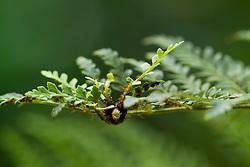 Bulbil on the leaf of a fern - Polystichum proliferum