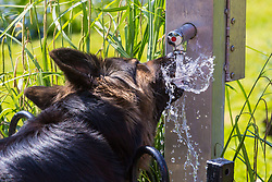 A thirst German Shepherd enjoys a drink of water in Roundwood Park, North West London, May 08 2018.
