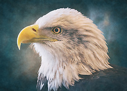 A Bald Eagle Head-Shot Profile Closeup on a textured blue backdrop