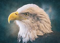 A Bald Eagle Head-Shot Profile Closeup on a textured blue backdrop
