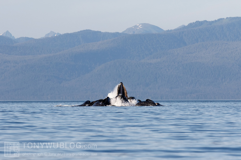 Humpback whales (Megaptera novaeangliae) emerging from the water in perfect formation while engaged in social foraging, often referred to as bubble net feeding.