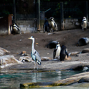 Penguins and crane at ZLS London Zoo's Asiatic lions celebrate the advent of autumn with scented treat, London, UK. 18 October 2018. 18 October 2018.