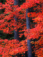A longer focal length was used to isolate a riot of vibrant red maple leaves wrapped around some spruce trunks near Danville, Vermont