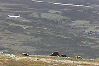 The muskox (Ovibos moschatus) is an Arctic mammal of the Bovidae family, noted for its thick coat and for the strong odor emitted by males, from which its name derives. This musky odor is used to attract females during mating season.