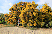 Woman smelling yellow blossom of Mimosa tree, acacia dealbata, Cabo de Gata natural park, Almeria, Spain