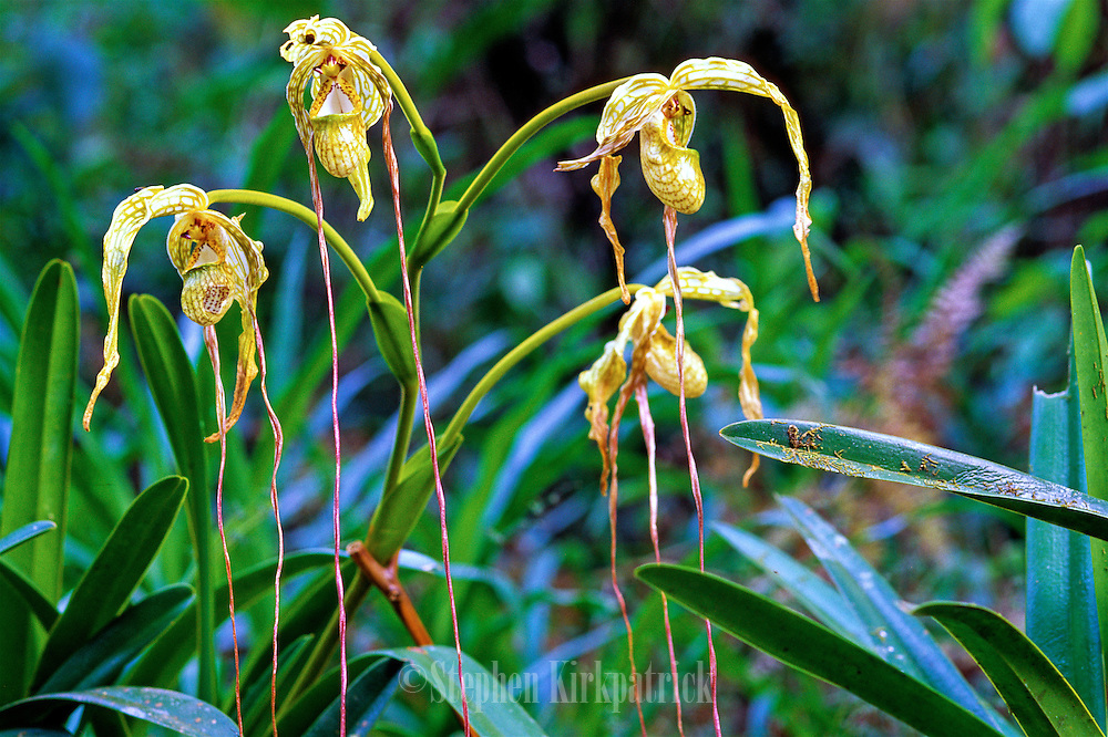 Slipper Orchid (Phragmipedium longiflorium) in Andes Mountains near Machu Picchu, Peru.